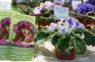 Весна у Вінниці розпочалась з фіалкової оази