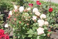 220 тисяч квітів висаджено цьогоріч на вінницьких квітниках