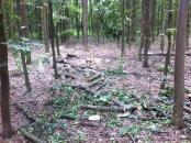 В Немирівському районі невідомі вирубали 67 дерев дуба, а пні позасипали тирсою