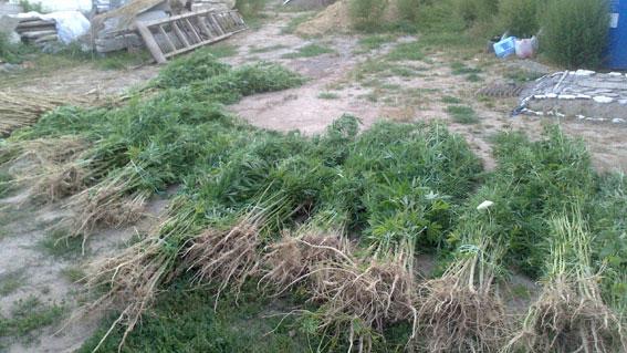 800 кущів коноплі вже не ростуть у Сутисках