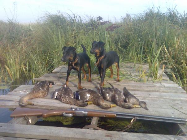 полювання з мисливськими собаками