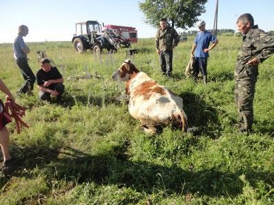 Як рятувальники із каналізаційного колодязя корову діставали