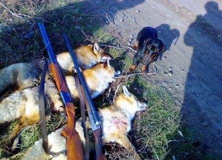 відстріл лисиці