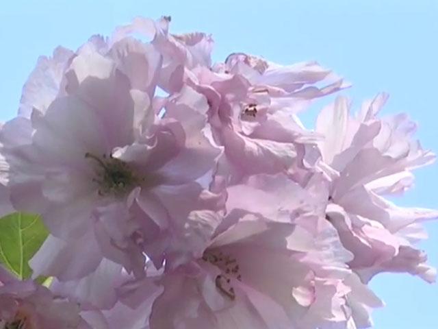 На Європейській площі розквітли сакури