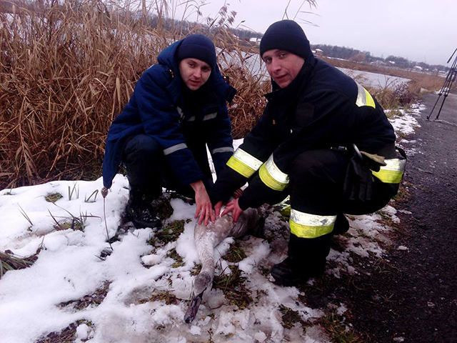 З Вишенського озера  рятувальники дістали знесиленого лебедя, який не може літати