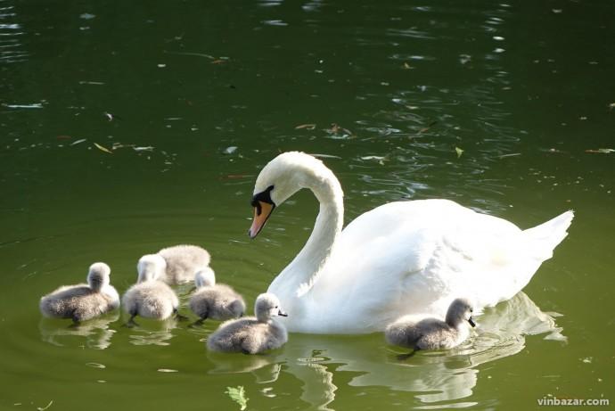 Лебедина сім'я з озера у Центральному парку поповнилась на 6 крихітних лебедят