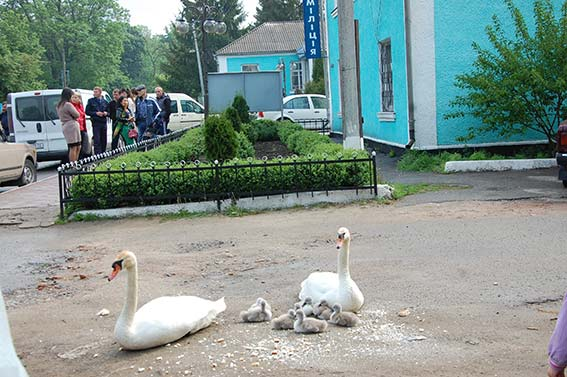 На Вінниччині лебеді проводжали міліціонерів у зону АТО