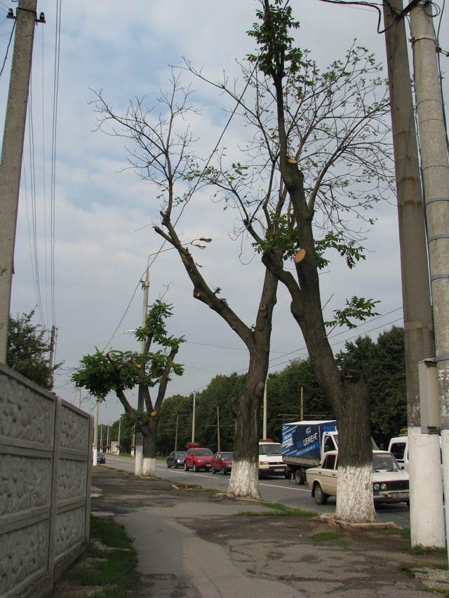 Про зрізану горіхову алею на Пирогова заговорили аж у столиці. Комунальники та екологи відповідають – сухостій був небезпечний для городян