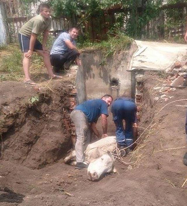 В Чечельнику рятувальники діставали корову із каналізації