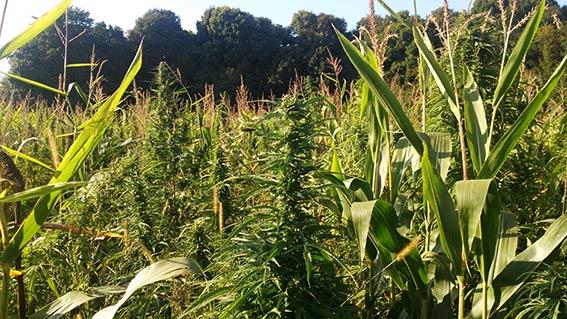Керівники агрофірми шукають пояснення, як разом з кукурудзою на їхньому полі з'явилась велика плантація коноплі