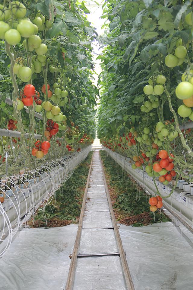 Неподалік Вінниці за голандськими технологіями вирощують помідори та огірки