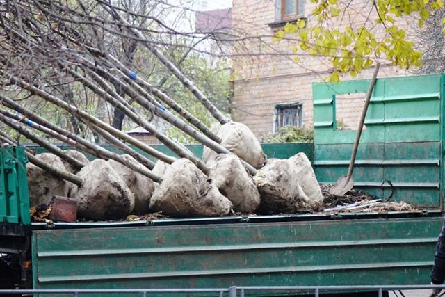 На Хмельницькому шосе висаджують липи, схрещені з горіхом, та клени
