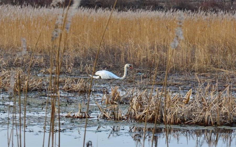 На озері, що на Тяжилові, поселились лебеді